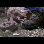 Take a walk with a rattlesnake
