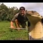 King Cobra is a giant snake!