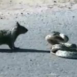 Reticulated python and a Squirrel