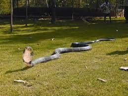 giant king cobra