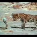 Leopard Vs. King Cobra