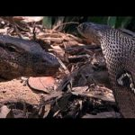 Cobra Vs. Water Monitor