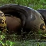 Anaconda Vs. Capybara