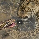 Leopard attacking Python. Who will win?