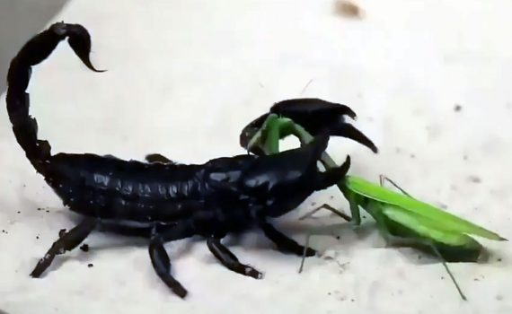 Mantis vs. Scorpion