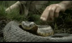 Steve Irwin - Most Deadliest Snakes (part 3)