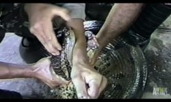 Anaconda strong jaws crush man's hand