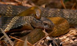 King Cobra Vs. Rat snake