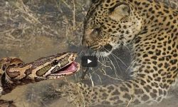 Leopard attacking python