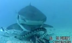 Sea snake Vs. Shark